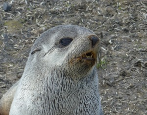 Fur seal Sanders Island