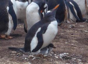 Sanders Island- gentoo & Rockhopper Penguins-2