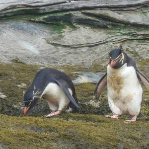 Sanders Island- gentoo & Rockhopper Penguins-3
