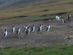 Sanders Island- gentoo & Rockhopper Penguins
